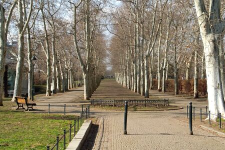 central europe: Alley plane trees in a large city in Central Europe.