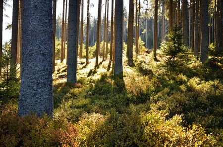 evergreen forest: Afternoon light shining through the evergreen forest with blueberries and young spruces. Stock Photo