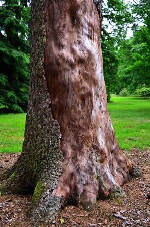 bark peeling from tree: Old evergreen tree bark stripped half the tribe because of bark beetles.