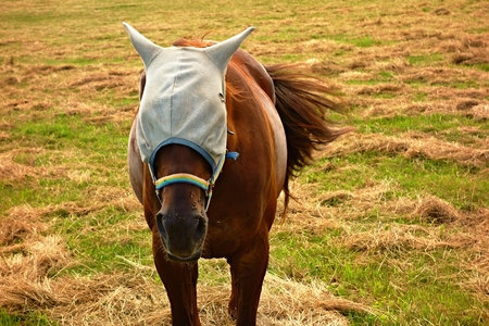Horse on pasture with a headdress against nuisance flies.