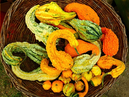 Autumn harvest variously twisted and colored pumpkins in a wicker basket. Stock Photo