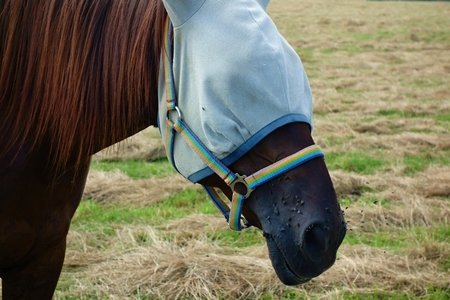 blowhole: Horse on pasture with a headdress against nuisance flies.