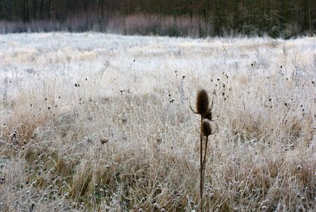 Thistles on autumn meadow covered with frost and with woods in the background. Stock Photo