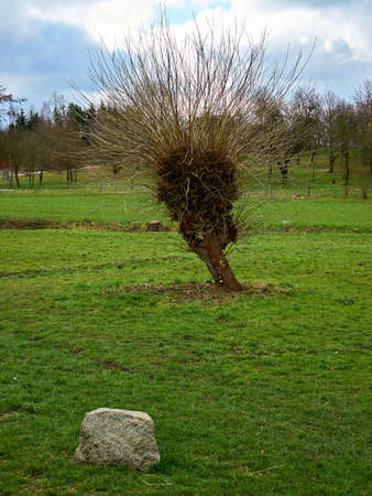 Willow tree with new spring twigs and a stone in the foreground.