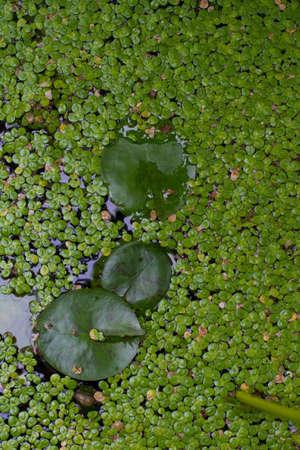 duckweed: lotus leaf in duckweed