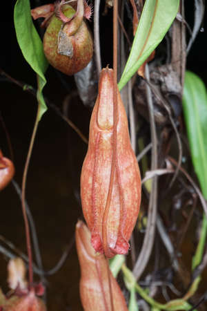 Nepenthes onder waterval