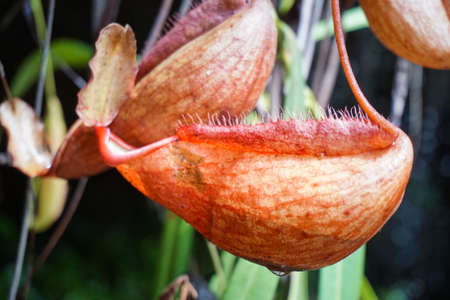 nepenthes: Nepenthes under waterfall