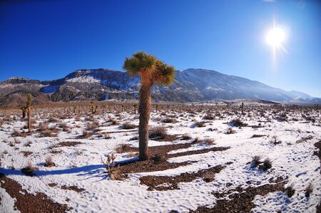 joshua: Joshua tree in snow