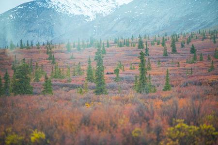 denali: moose in Denali National Park Stock Photo