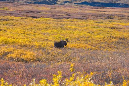 denali: moose at denali national park