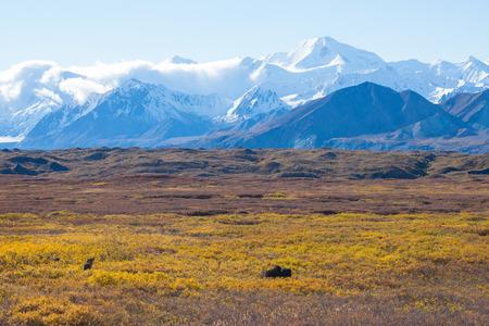 denali: moose at denali national park with mountain background