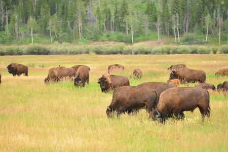 great plains: bison calf in field at grand teton national park