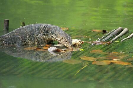 animalia: Varanus salvator(water monitor lizard) eating fish on woodpallet in water