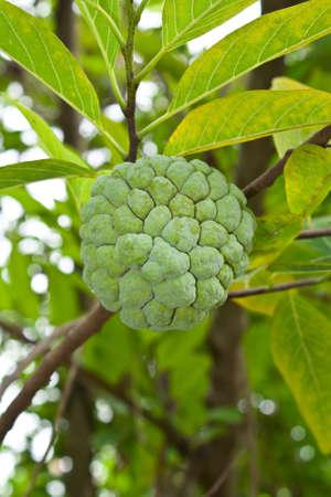 Custard apple on tree in garden  photo