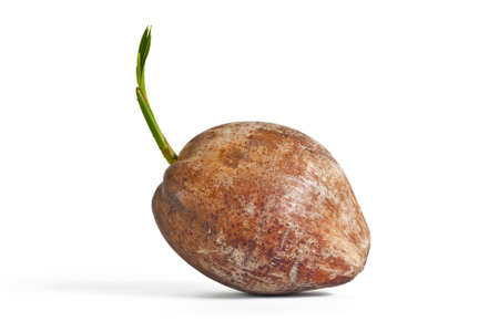 new coconut tree on white background photo