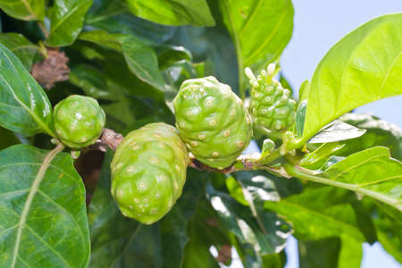 noni: Noni fruit on tree