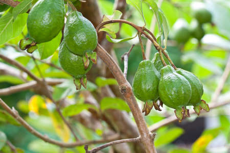 guava fruit: Guava on tree