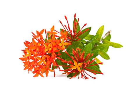 Ixora flower on white photo