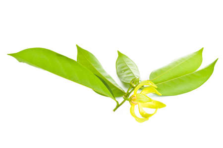 odorous: Ylang-Ylang flower on isolate background. Stock Photo