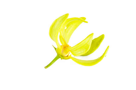 odorous: Ylang-Ylang flower on isolate background.