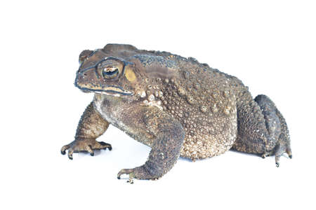 toad: Common toad on a white background