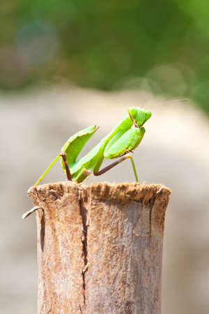 cannibal: Green Praying Mantis in natural wooden environment  Stock Photo