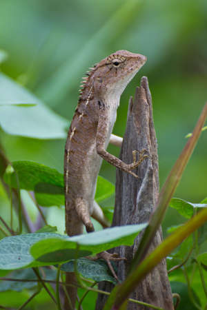 Lizard in natural wooden environment  photo
