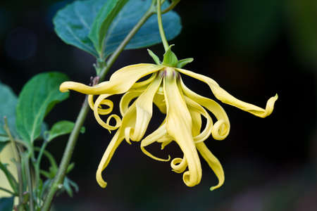 Flowers Ylang-Ylang, for the manufacture of essential oil