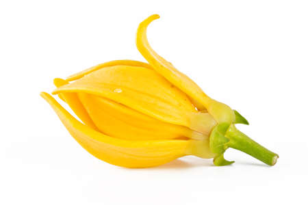odorous: Ylang-Ylang Flower on white background