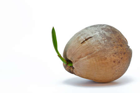 coconut seedlings: Sprout of coconut tree isolated on white background  Stock Photo