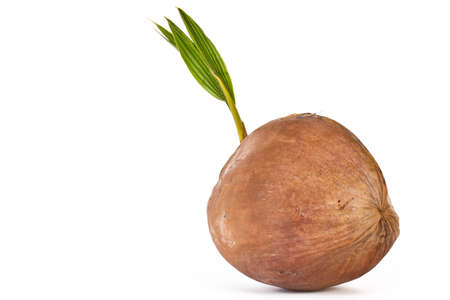 Sprout of coconut tree isolated on white background  photo