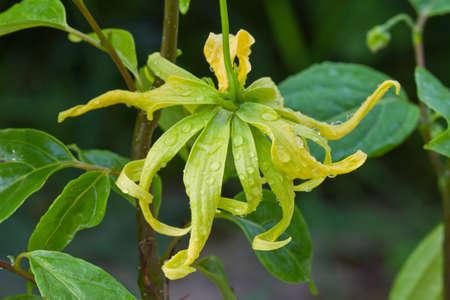 odorous: Closeup Ylang-Ylang flower on tree