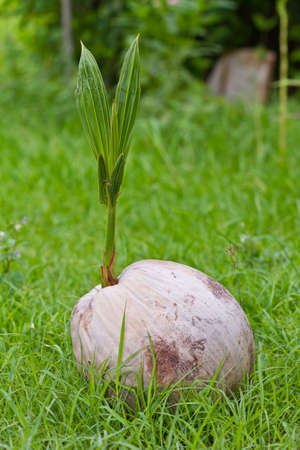 coconut seedlings: Sprout of coconut tree,Thailand  Stock Photo