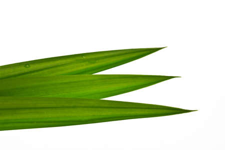 tectorius: Fresh Pandan leaves on white background