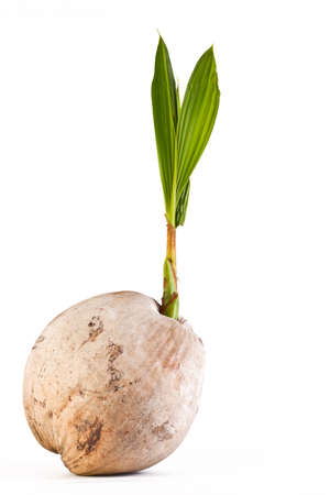 coconut seedlings: Coconut sprout on white background