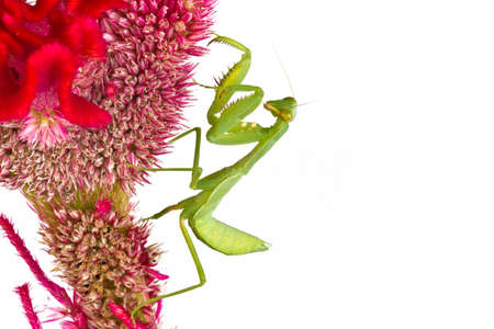 Praying mantis on cockscomb flower on white background photo