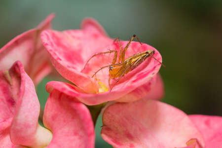 arachnoid: Spider on Euphorbia milii fiori