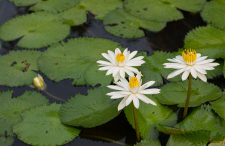 white lotus flower in the lake photo