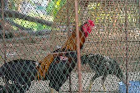 fighting cock: fighting cock in cage,Thailand