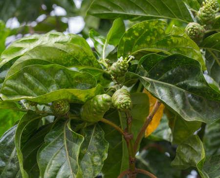 noni fruit: Noni fruit and  leaf on tree
