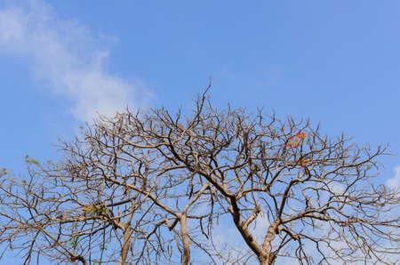 astray: Royal Poinciana Tree leaves astray and blue sky,Thailand