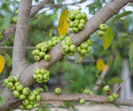 Ficus carica tree, Ficus racemosa tree, common figs on tree