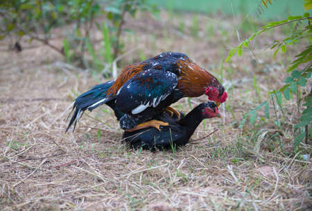 mating: Mating Cockfight in nature,Thailand
