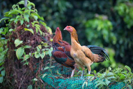 Hen Cockfight in nature,Thailand Stock Photo