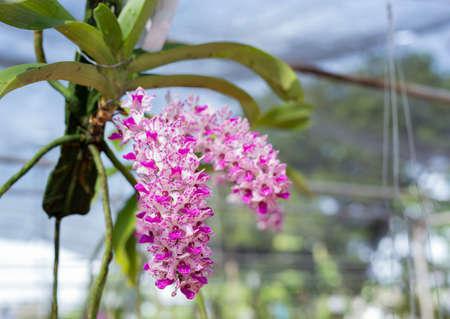 gigantea: Rhynchostylis gigantea orchid after rain,Thailand Stock Photo