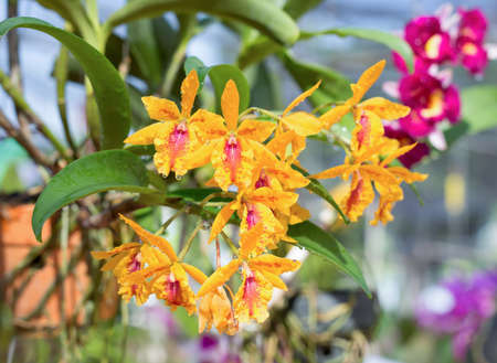 oncidium orchid flowers or dancing lady orchid after rain in Thailand