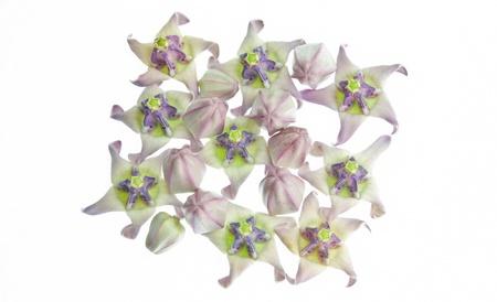 Crown Blume Auf Einem Weißen Hintergrund Lizenzfreie Fotos, Bilder ...