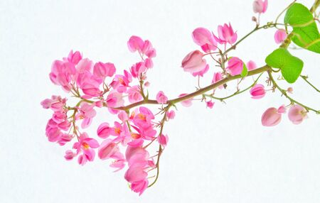 Pink flowers on a white background