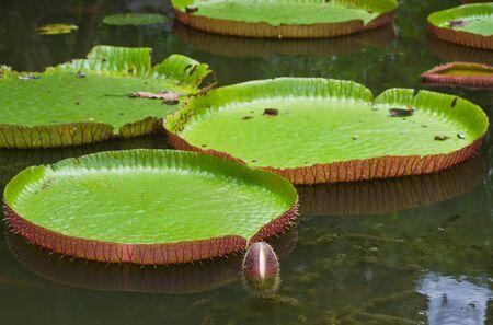 Large lotus leaf