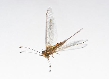 Neuroptera on a white background